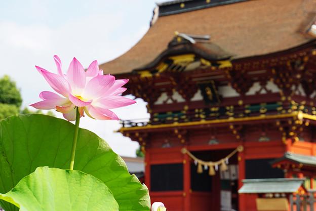 八幡宮と蓮の花