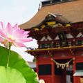 写真: 八幡宮と蓮の花