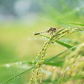写真: 稲穂とトンボ