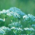 写真: 韮花畑