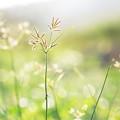 写真: 雑草が輝く季節