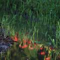 写真: 水面の花