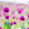 写真: 千日紅の花畑