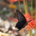 写真: 黒い蝶