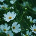 写真: 花は風に踊り