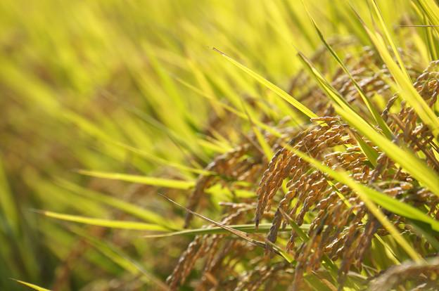 写真: 収穫目前