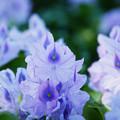 写真: 日陰の布袋葵