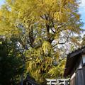 Photos: 大きな銀杏の木