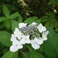 撫子額紫陽花