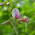 写真: ツクシハギの花