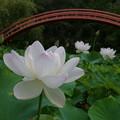 写真: 蓮咲く寺