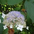 写真: タマアジサイにミツバチ