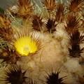写真: サボテンの花