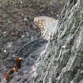 写真: サトキマダラヒカゲとスズメバチ