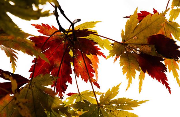 写真: 秋楓