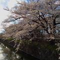 桜と松本城#2