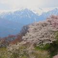 写真: 残雪と桜