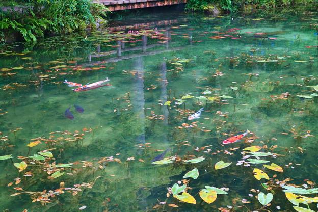 写真: モネの池とハートの鯉