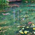 モネの池とハートの鯉