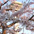 写真: 幸福滿開五稜郭櫻花