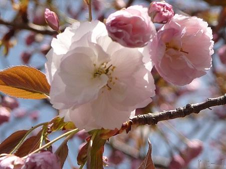 110417-造幣局 桜の通り抜け (13)