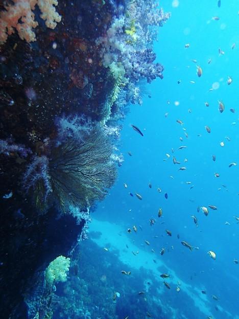 式根島 水中 イソバナ