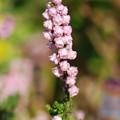 カルーナブルガリス花
