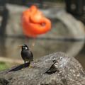 フラミンゴ舎に紛れ込むスズメとムクドリ