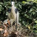 写真: 子育てアオサギ(生後約1週間)
