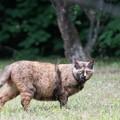 写真: にらむサビ猫