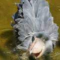 Photos: 松ぼっくりみたいなハシビロコウ