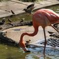 写真: フラミンゴ舎に侵入する鳥たち