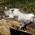 Photos: やる気のない猫