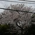 写真: 2017年4月9日 西公園 桜 福岡 さくら 写真 (12)