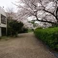 写真: 2017年4月9日 西公園 桜 福岡 さくら 写真 (17)