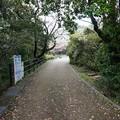 写真: 2017年4月9日 西公園 桜 福岡 さくら 写真 (30)