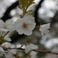 写真: 2017年4月9日 西公園 桜 福岡 さくら 写真 (32)