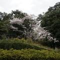 写真: 2017年4月9日 西公園 桜 福岡 さくら 写真 (35)