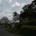 写真: 2017年4月9日 西公園 桜 福岡 さくら 写真 (36)