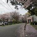 写真: 2017年4月9日 西公園 桜 福岡 さくら 写真 (37)