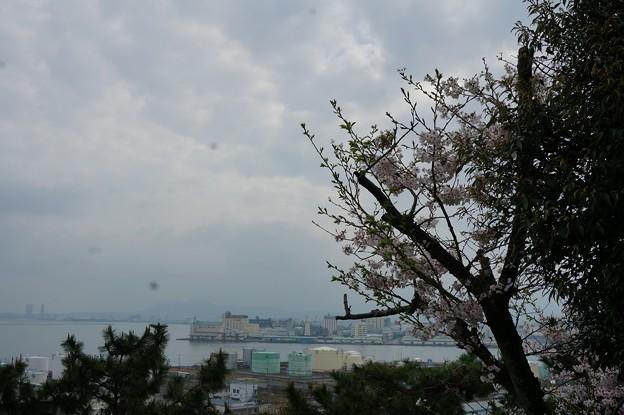 写真: 2017年4月9日 西公園 桜 福岡 さくら 写真 (45)