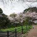写真: 2017年4月9日 西公園 桜 福岡 さくら 写真 (54)