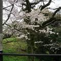写真: 2017年4月9日 西公園 桜 福岡 さくら 写真 (58)