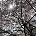 写真: 2017年4月9日 西公園 桜 福岡 さくら 写真 (60)