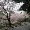 写真: 2017年4月9日 西公園 桜 福岡 さくら 写真 (64)
