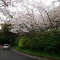 写真: 2017年4月9日 西公園 桜 福岡 さくら 写真 (68)