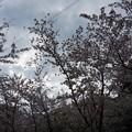 写真: 2017年4月9日 西公園 桜 福岡 さくら 写真 (69)