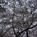 写真: 2017年4月9日 西公園 桜 福岡 さくら 写真 (89)