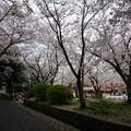 写真: 2017年4月9日 西公園 桜 福岡 さくら 写真 (90)