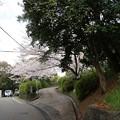 写真: 2017年4月9日 西公園 桜 福岡 さくら 写真 (98)